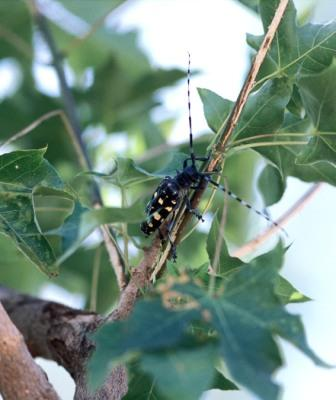 Adult Asian longhorned beetle. Image and cutline courtesy of USDA National Agricultural Library Image Galleries. Photo by Michael Smith.